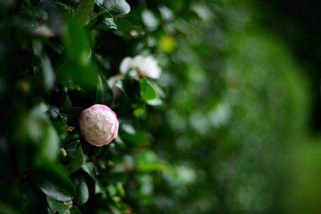 山茶花(八重)咲き出しました