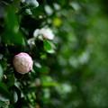 写真: 山茶花(八重)咲き出しました
