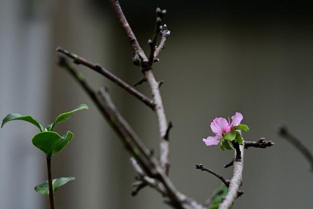 秋のアーモンドの花一輪