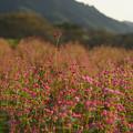 写真: 明日香の里の赤花蕎麦