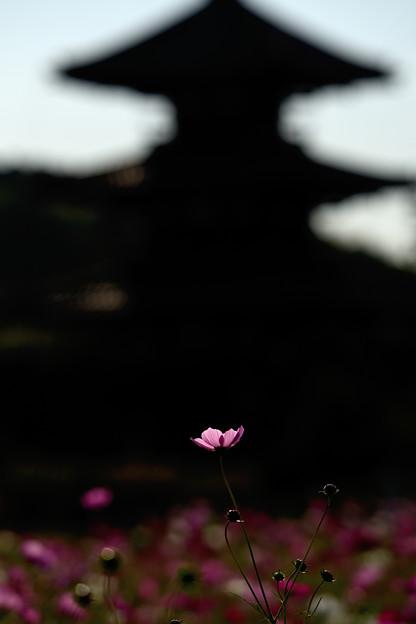 塔と秋桜(2)
