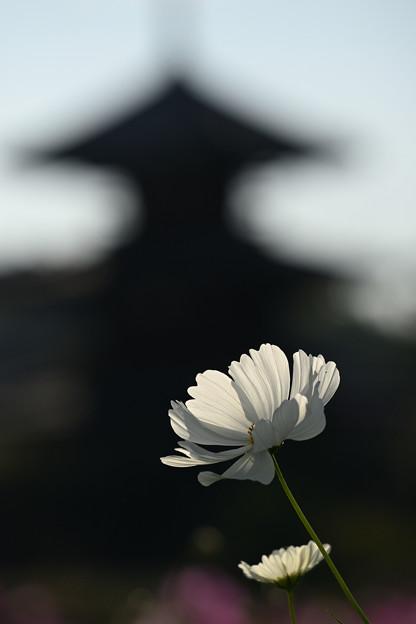 Photos: 塔と秋桜(3)