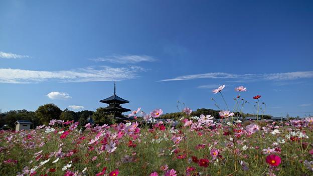 Photos: 塔と秋桜(4)