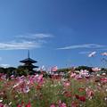 写真: 塔と秋桜(4)