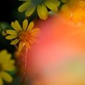 写真: 日陰のツワブキ