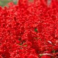 写真: 真っ赤なサルビア