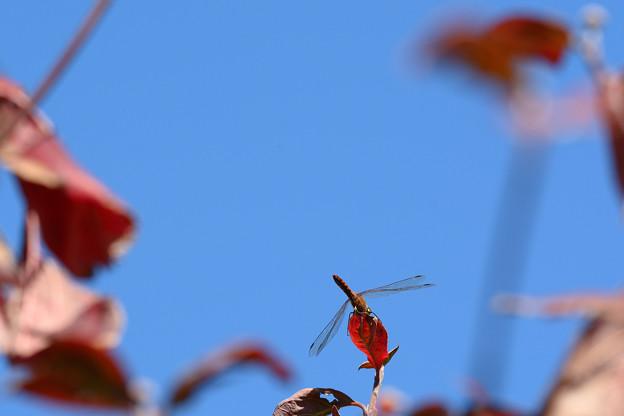紅葉する花水木とアカトンボ