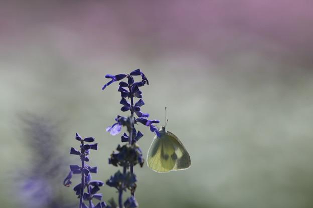 ブルーサルビアとモンシロチョウ