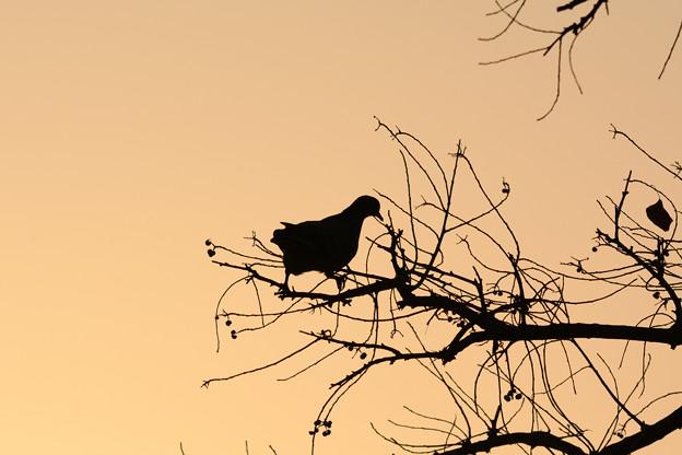 朝焼け色の空:キジバト