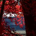 Photos: ドウダンツツジの紅葉