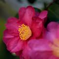 Photos: サザンカ開花