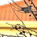 写真: 姫リンゴとツグミ