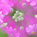 Photos: 春・蕾(サクラソウ)