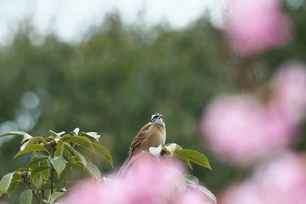 ホオジロ:河津桜の前ボケを添えて・・・