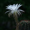 Photos: 朝日に輝くサボテンの花