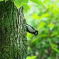 Photos: 緑陰のシジュウガラ