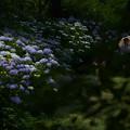 Photos: 日傘と紫陽花
