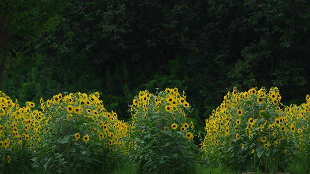 ひまわり畑(馬見丘陵公園)