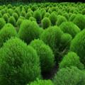 コキアグリーン