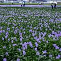 Photos: 雨の本薬師寺跡:ホテイアオイ