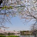 Photos: 桜並木から