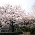 東京国立博物館 桜