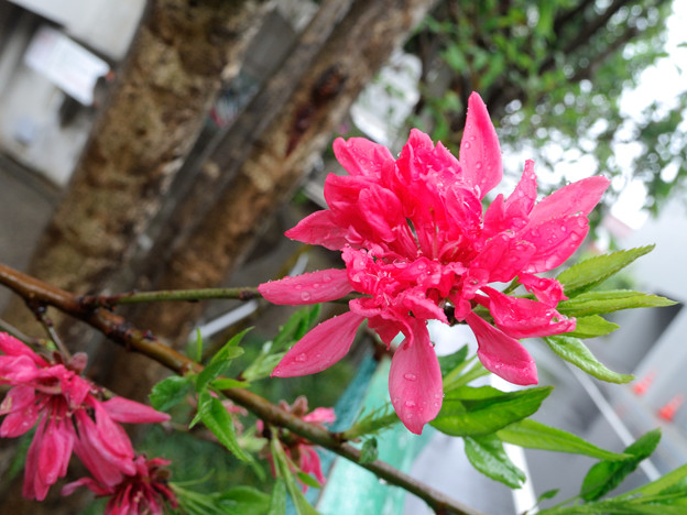咲く 菊桃
