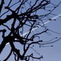 写真: 辛夷と飛行機雲
