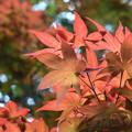 写真: 春紅葉