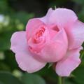 写真: 薔薇ちゃんの吐息