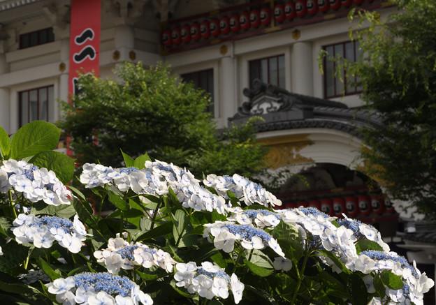 紫陽花と歌舞伎座