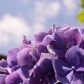 写真: 紫陽花と雲