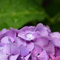 写真: 紫陽花と