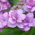 Photos: 紫陽花と