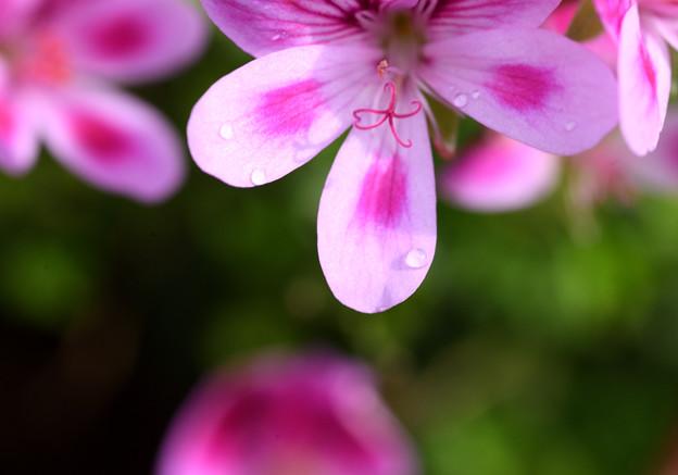 桃色天竺葵