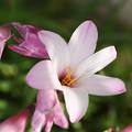 写真: 咲きはじめ