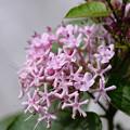 写真: ピンクのお花