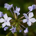 写真: 青い花火