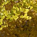 写真: 黄葉