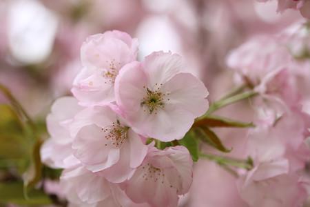 横輪桜 (5)