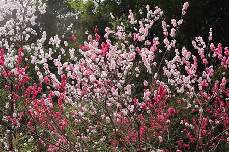 横輪桜 (8)