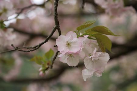 横輪桜 (11)