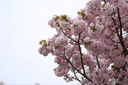 横輪桜 (17)