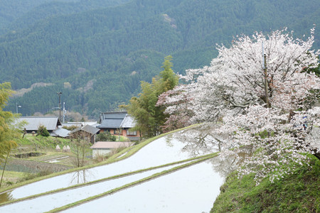 三多気の桜 (4)