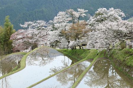 三多気の桜 (5)