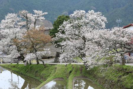 三多気の桜 (6)