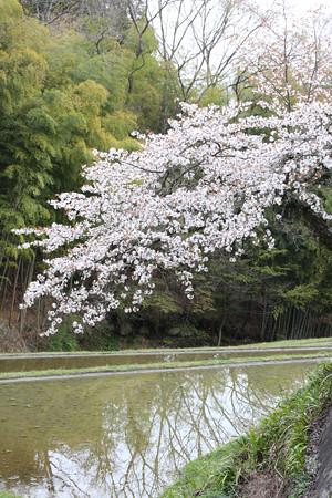 三多気の桜 (8)