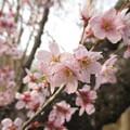 写真: 啓翁桜