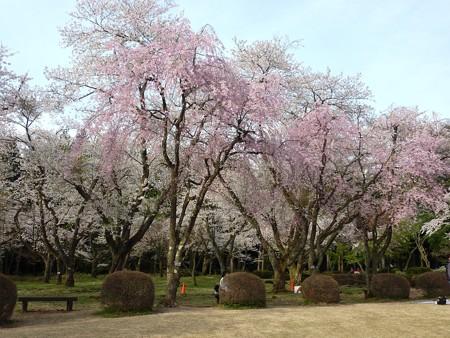 樹木公園の春