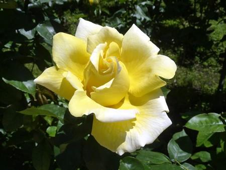 春の薔薇園(6)